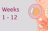 First Trimester of Pregnancy – Baby Development and Body Changes